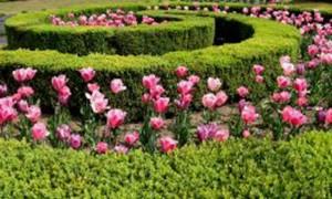tulipparisnewwp
