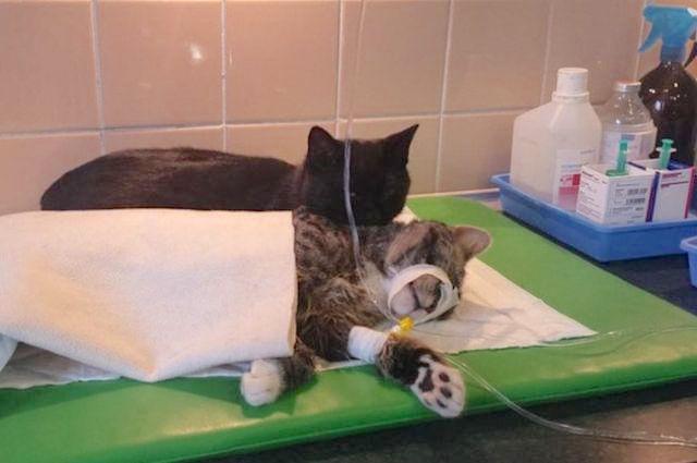 Polish-cat-comforts-sick-cat-Imgur